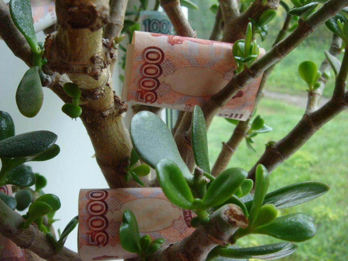 Денежное дерево: как правильно его посадить, чтоб велись деньги