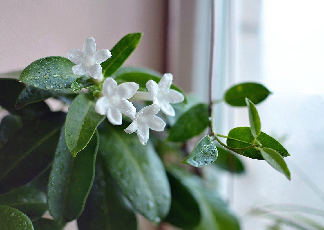 Стефанотис: размножение и уход в домашних условиях, как цветет мадагаскарский жасмин, приметы и суеверия