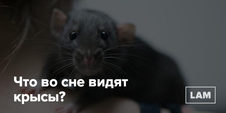 Снятся крысы к чему - приснились крысы во сне к чему это