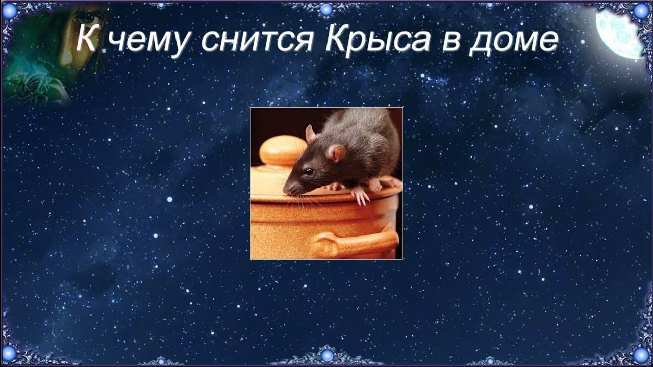 Снятся крысы к чему — приснились крысы во сне к чему это - журнал о всём