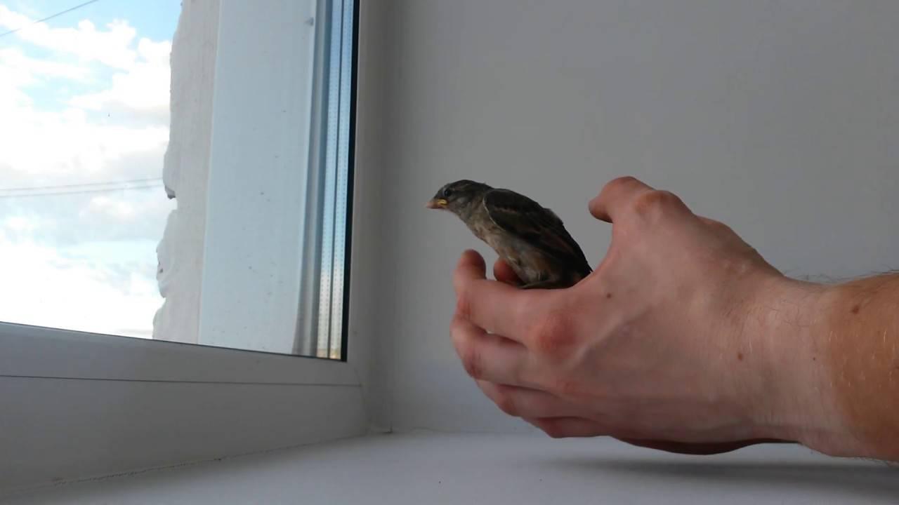Стриж залетел в окно