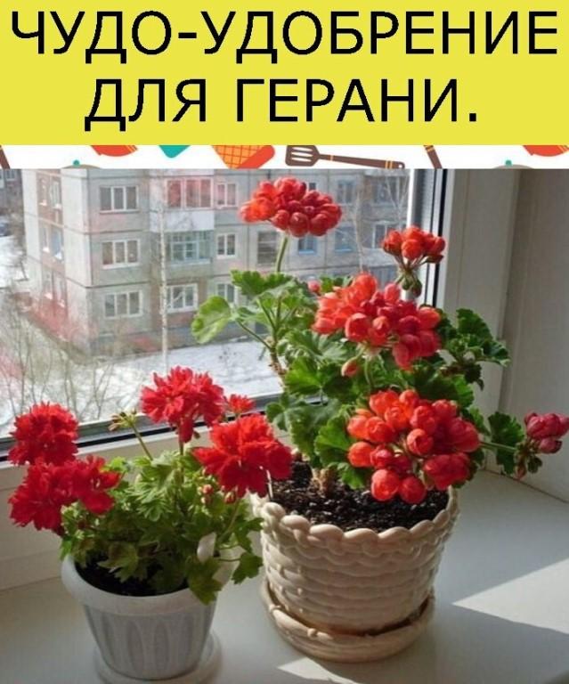 Герань: белая, красная, приметы и суеверия, можно ли держать дома