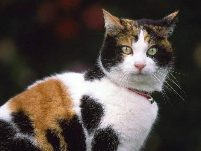 Четырехцветная кошка в доме приметы