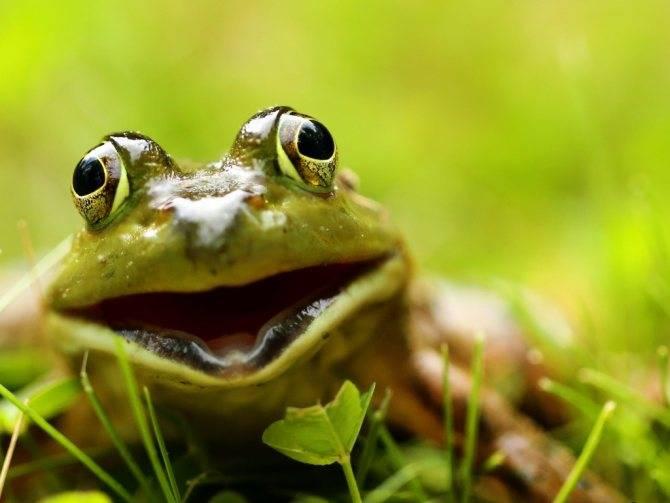 Приметы о лягушке в доме, к чему квакают жабы, почему их нельзя убивать