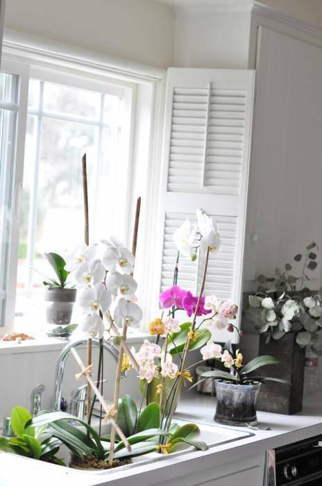 Можно ли держать орхидею в доме