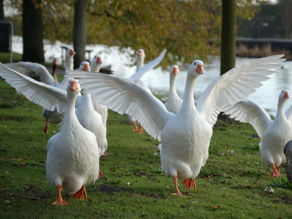 Сонник дикие гуси. к чему снится дикие гуси видеть во сне - сонник дома солнца