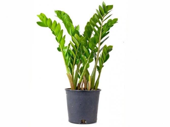 Замиокулькас (цветок безбрачия): фото, суеверия и приметы в доме - цветочки - медиаплатформа миртесен