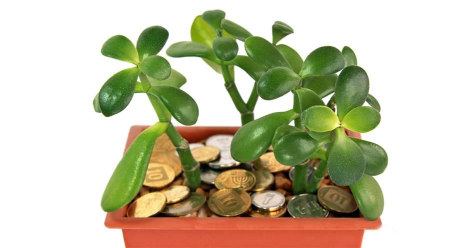 Денежное дерево – как правильно его посадить, чтоб велись деньги, и привлечь богатство | спутниковые технологии