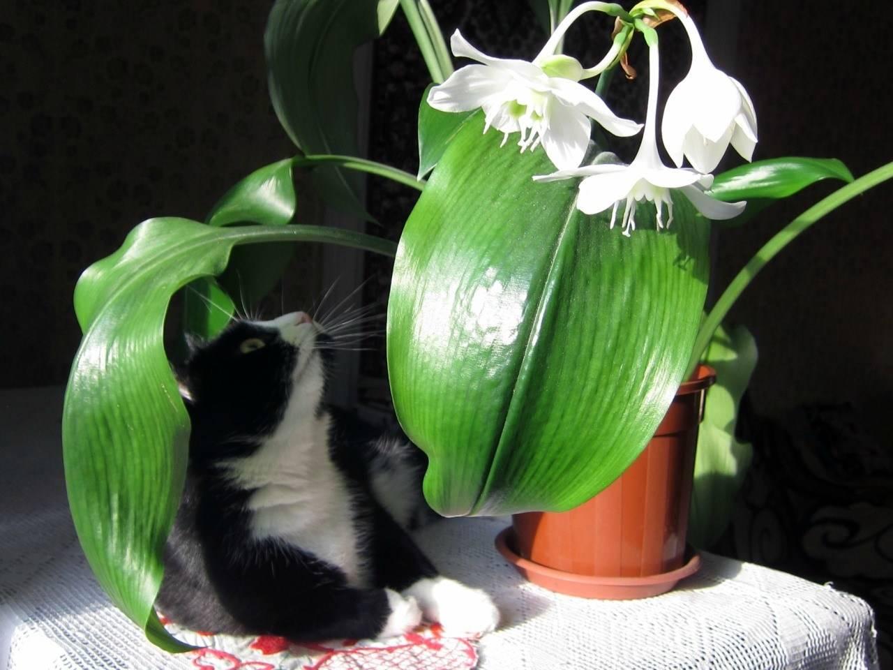 Что нужно знать о цветке эухарис: приметы и суеверия - опасно ли держат цветок дома?