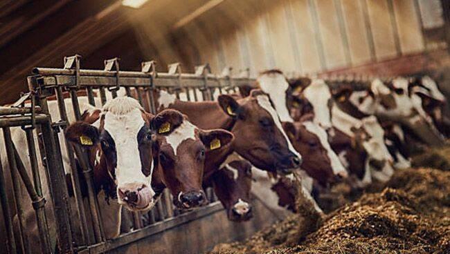 Видеть во сне корову: что значит по соннику для женщины и мужчины?