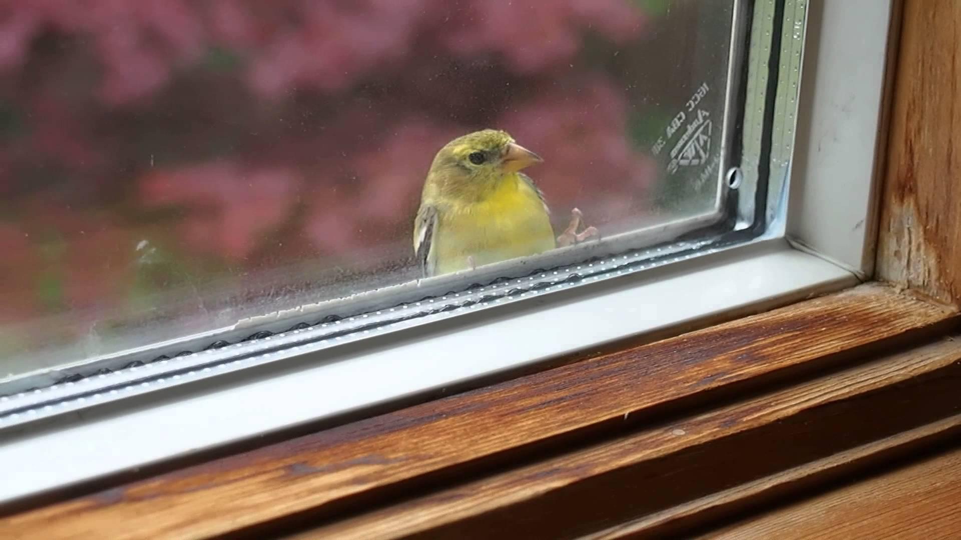 Объяснение, к чему птица стучится в окно