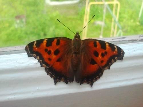 Бабочка залетела в дом или квартиру – примета