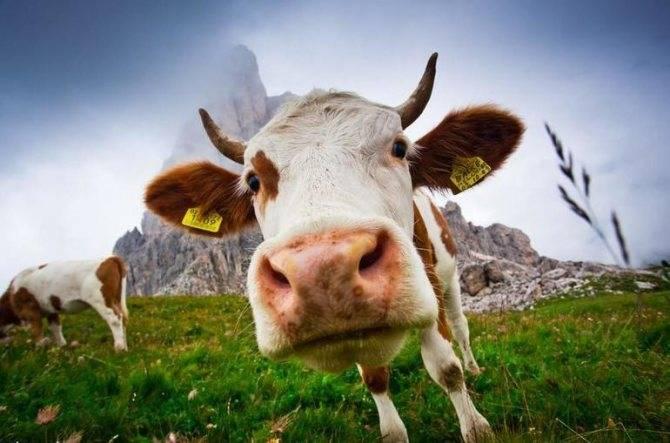 Сонник корова с теленком женщине видеть во сне к чему снится