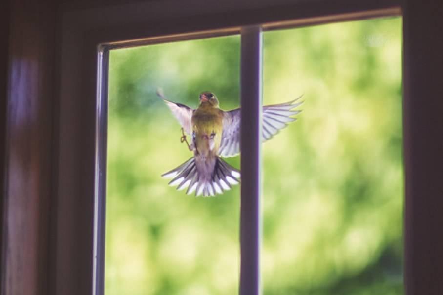 Птица ударилась в окно - значение приметы (хорошей)