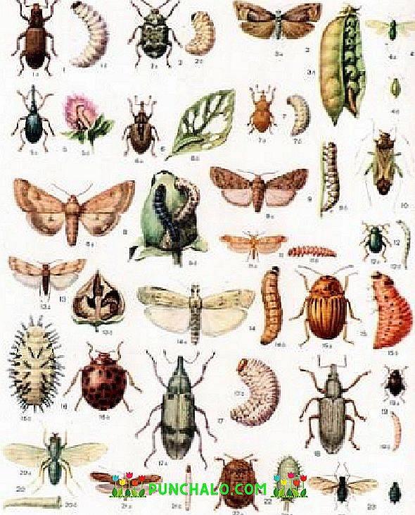 Сеслерия: посадка и уход, размножение, описание, фото, болезни и вредители сеслерии - читайте на орхис ????