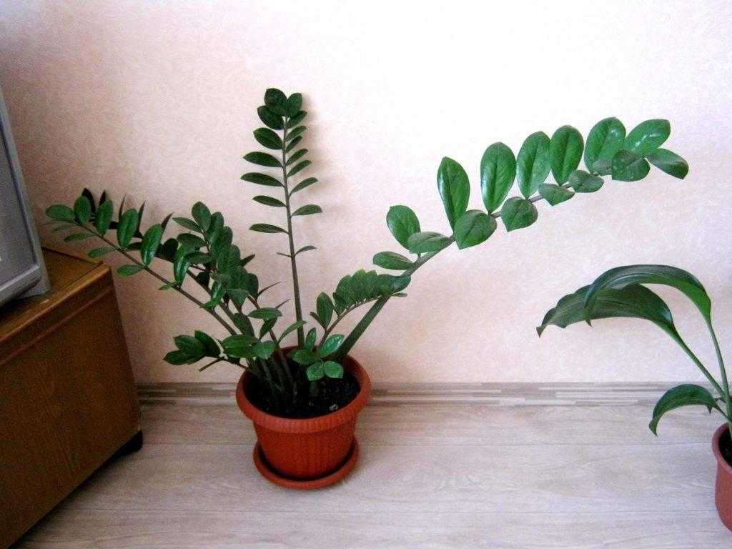 Замиокулькас или «долларовое дерево» в доме: приметы и суеверия