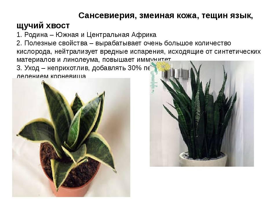 Цветок щучий хвост: свойства растения, приметы и суеверия