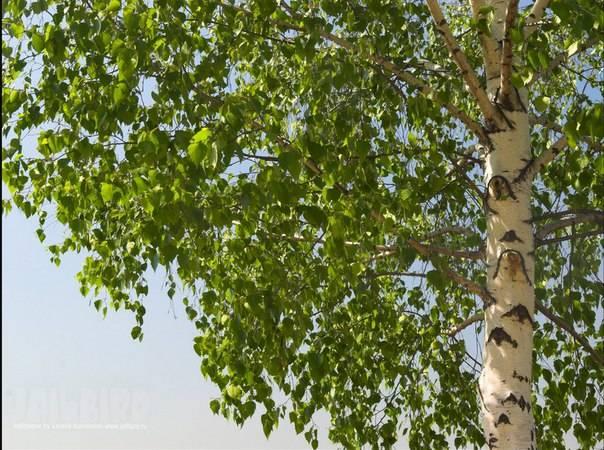 Дерево береза приметы. народные приметы, связанные с деревьями