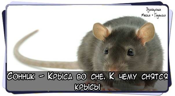 К чему снится крыса? что значит, если вам приснилась крыса?
