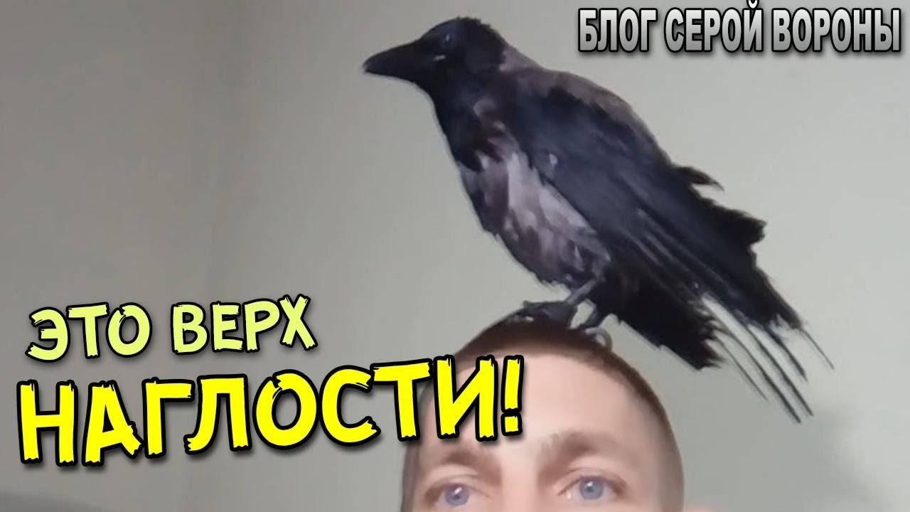 Ворона села на голову — примета про птиц и богатство