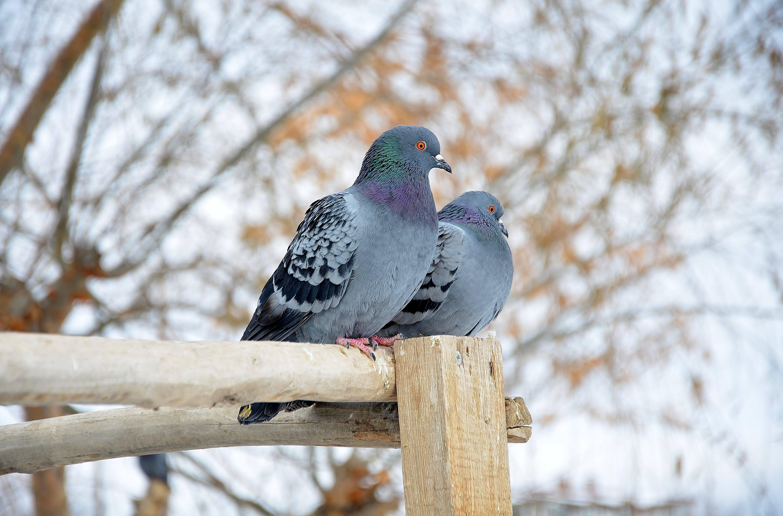 Приметы и поверья про белых голубей