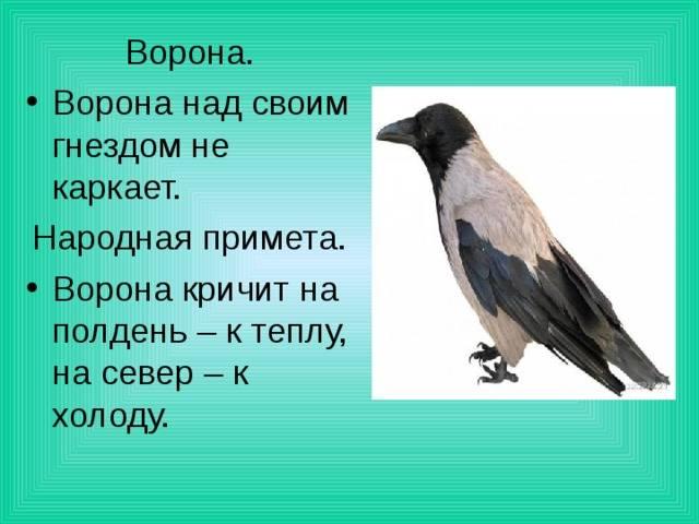 Приметы про птиц: залетела в машину, села на голову, купаются в луже или пыли