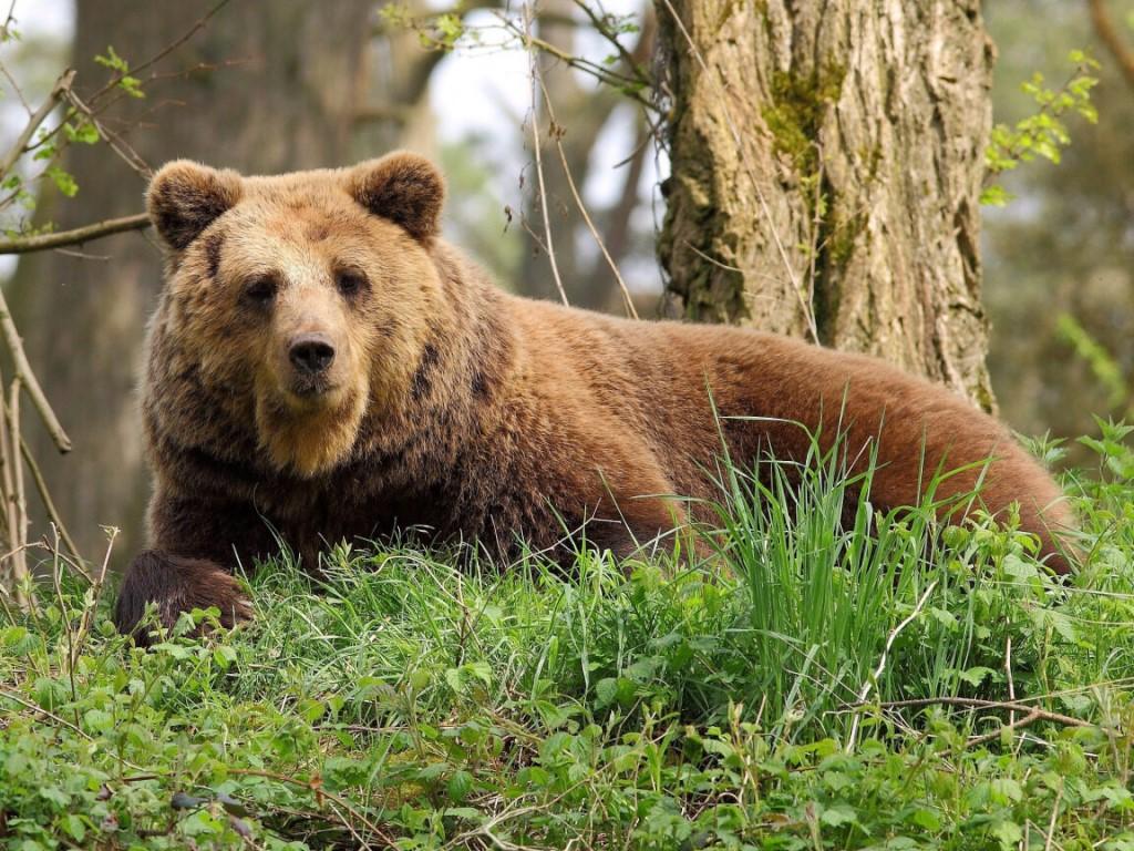 К чему снится медведь: толкование снов