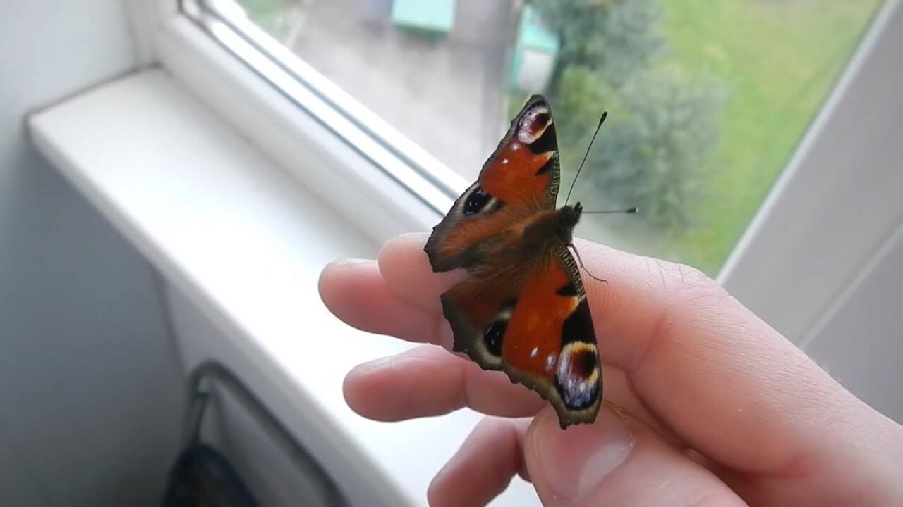 Что означает если бабочка залетела в офис. народные приметы: к чему залетела бабочка в окно, села на плечо.