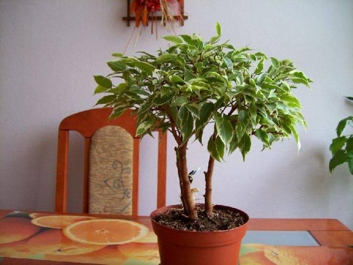 Фикус бенджамина приметы и суеверия: можно ли держать в доме комнатное растение, народные поверья, как влияет цветок на беременность, фото