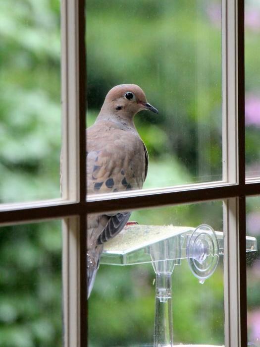 Приметы о голубе, залетевшем на балкон