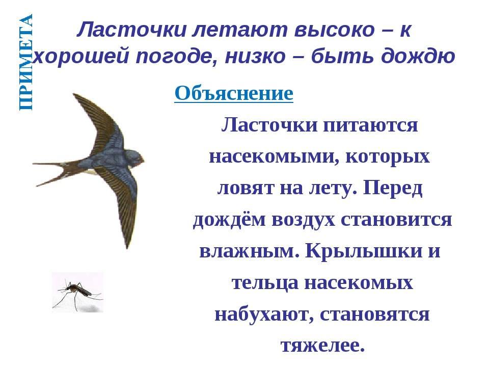 О чём говорит примета «ласточки летают низко»?