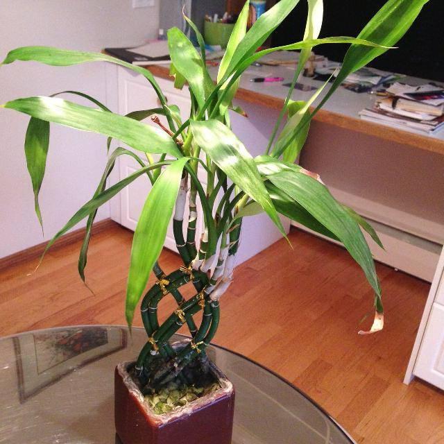 Драцена: приметы и суеверия о растении, где его ставить