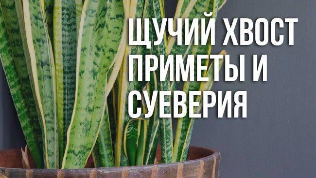 """Цветок """"щучий хвост"""" или """"тёщин язык"""": народные приметы и суеверия"""