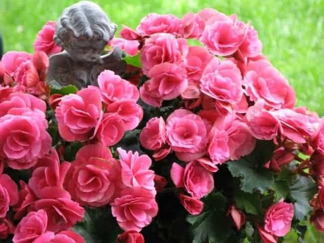 Значение бегонии и приметы про выращивание цветка дома