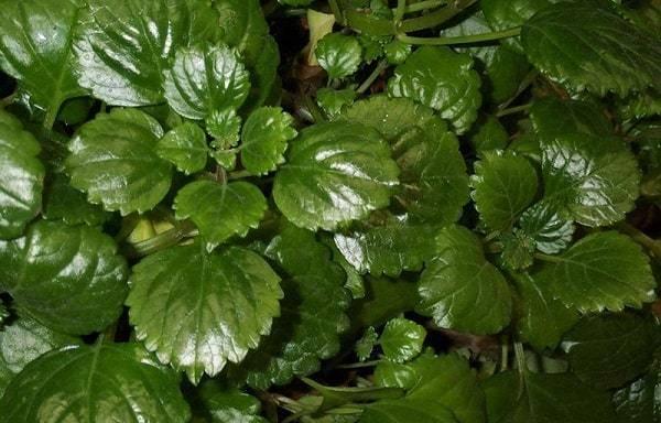 Все разновидности плектрантуса с фото — приметы и суеверия о растении