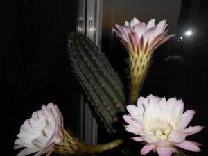 Виды и разновидности домашних кактусов с фото — названия, описания, уход