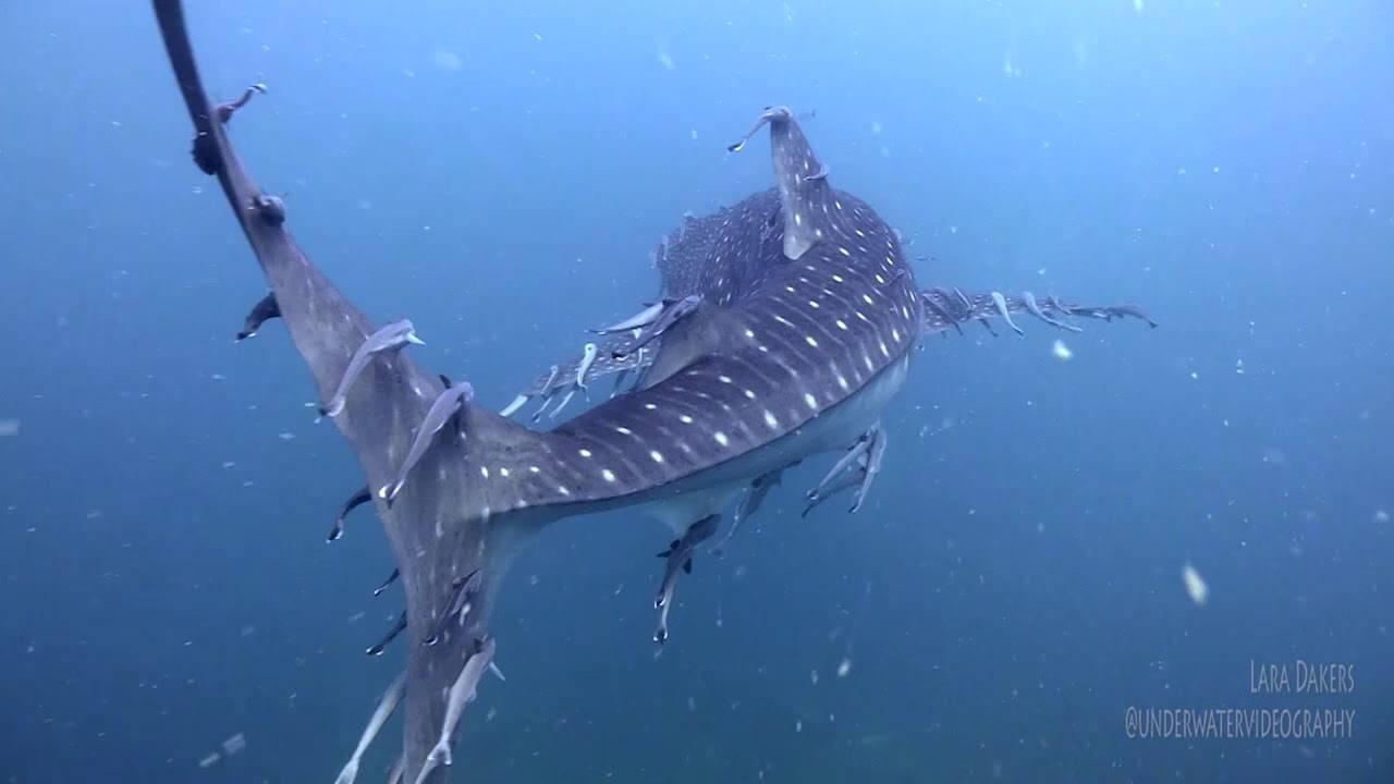 Обыкновенная рыба-прилипало — википедия переиздание // wiki 2