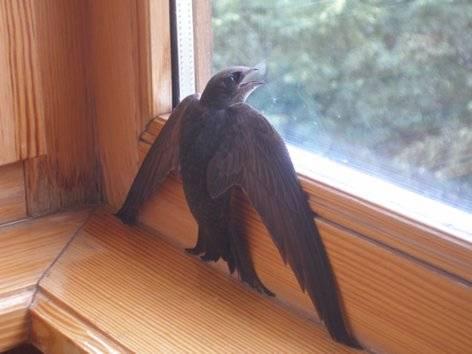 Птица залетела в окно: народная примета