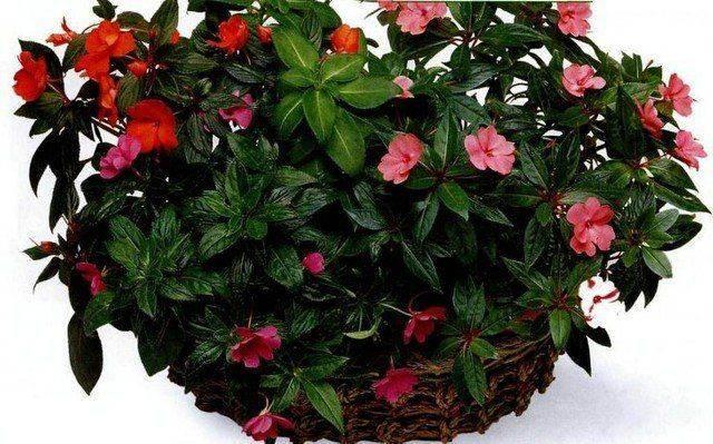 Ванька мокрый – цветок из рода бальзаминов