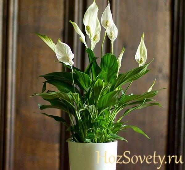 Магия цветка «женское счастье». приметы и суеверия, связанные со спатифиллумом | поздравления! приметы! праздники | яндекс дзен