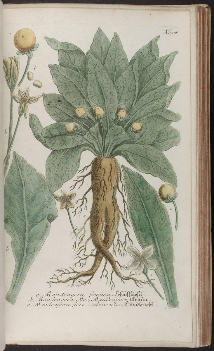 Мандрагора что это за растение и как используется