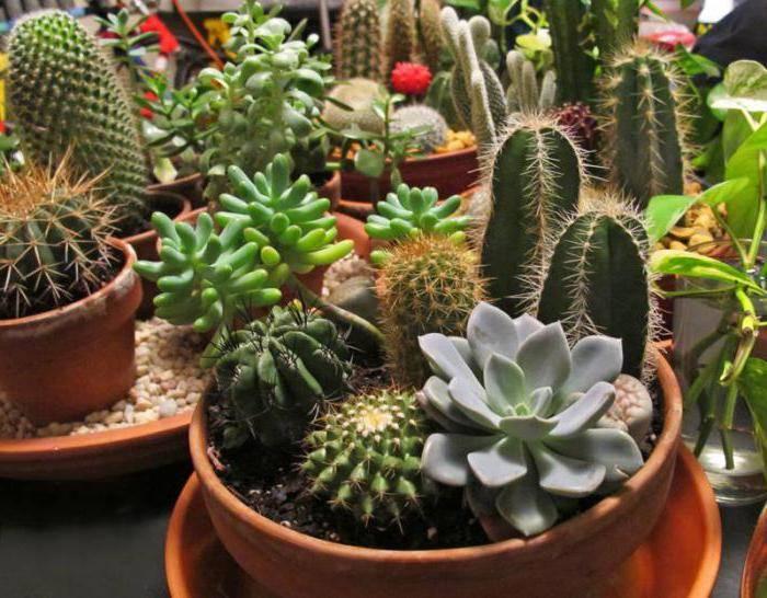 К чему зацвёл кактус: приметы и суеверия - куда лучше поставить?