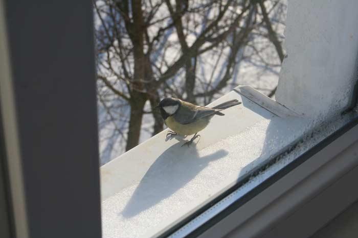 Синичка залетела на балкон: хорошие и плохие народные приметы связанные с птицей