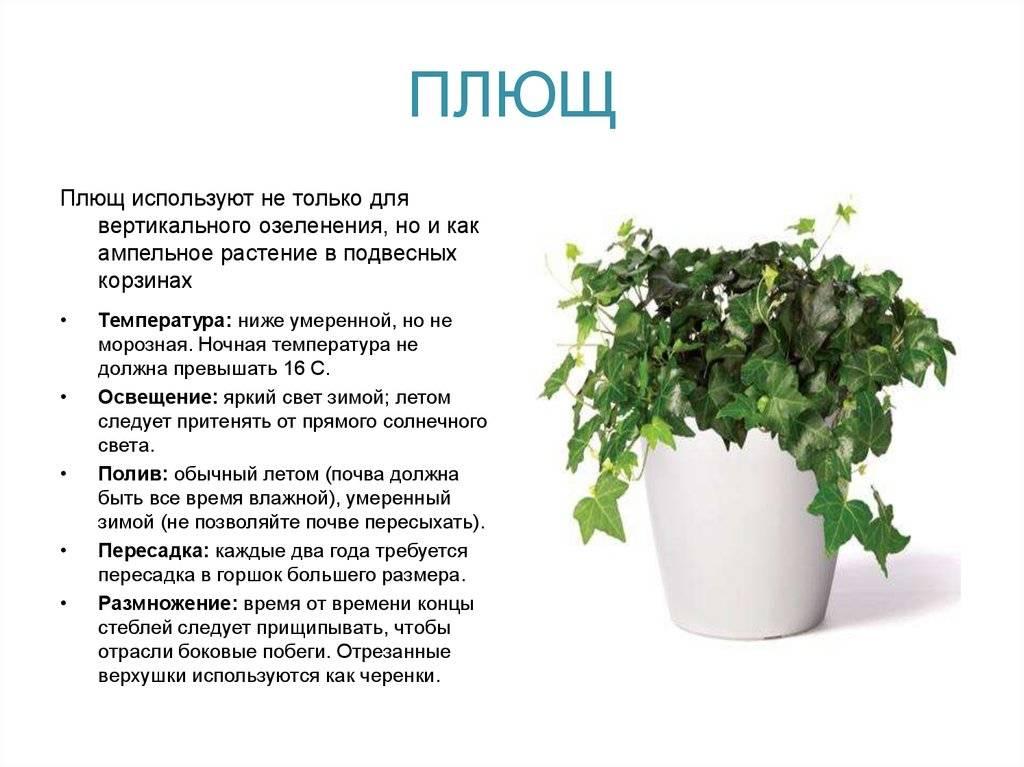 Плющ комнатный: можно ли держать дома, приметы. выращивание плюща в домашних условиях, фото