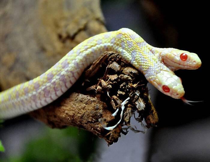 Может ли змея родиться с 2 головами. амфисбена — двуглавая змея из древнегреческих мифов