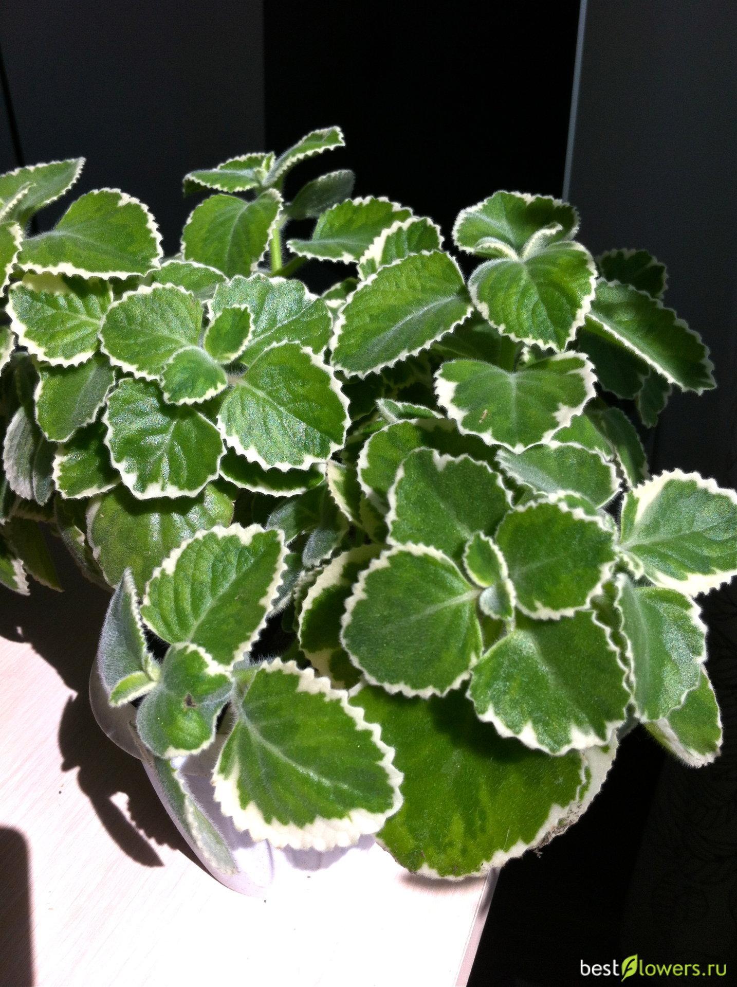 Что за растение комнатная мята и как ее использовать? инструкция по выращиванию и уходу