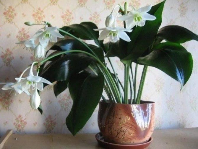 Эхеверия или каменная роза: приметы и суеверия