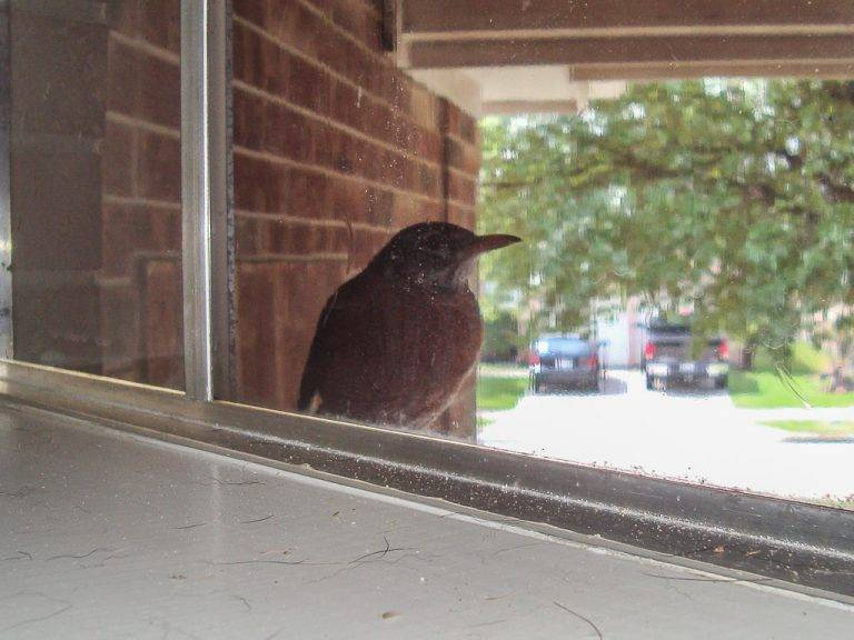 К чему птица стучится в окно?. стук птицы в окно. к чему бы это, если птица постучала в окно? верны ли приметы или же это все суеверия?