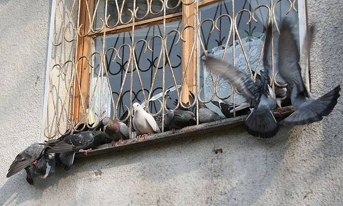 Что подсказывают приметы, если голубь сел на подоконник