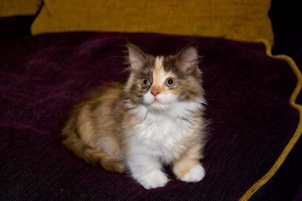 Загадка трёхцветной кошки: описание окраса, свойства генетики, народные приметы и поверья